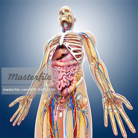 Male anatomy, computer artwork. Stock Photo - Premium Royalty-Free, Image code: 679-06712054