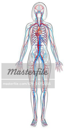 Female cardiovascular system, computer artwork. Stock Photo - Premium Royalty-Free, Image code: 679-06712215