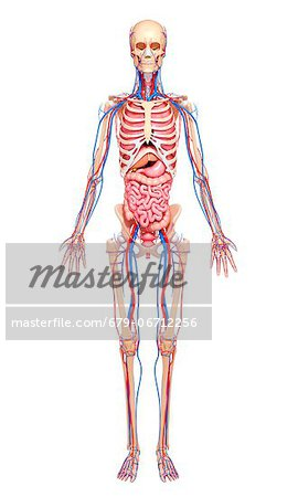 Human anatomy, computer artwork. Stock Photo - Premium Royalty-Free, Image code: 679-06712256