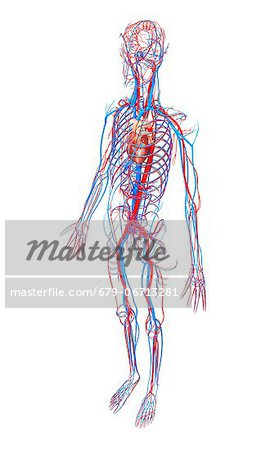 Cardiovascular system, computer artwork. Stock Photo - Premium Royalty-Free, Image code: 679-06713281
