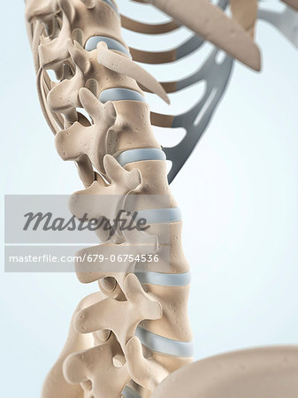 Human spine, computer artwork. Stock Photo - Premium Royalty-Free, Image code: 679-06754536