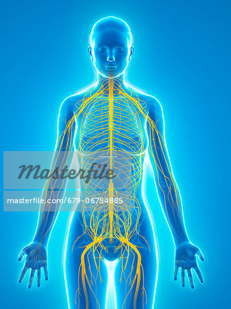 Nervous system, computer artwork. Stock Photo - Premium Royalty-Free, Image code: 679-06754885