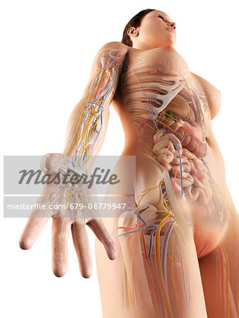 Female anatomy, computer artwork. Stock Photo - Premium Royalty-Free, Image code: 679-06779947