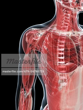 Male musculature, computer artwork. Stock Photo - Premium Royalty-Free, Image code: 679-06780735