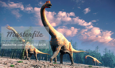 Brachiosaurus was a herbivorous dinosaur that lived roughly 150 million years ago during the Jurassic Period. One of the largest known species of sauropod the long-necked, long-tailed variety its forelimbs were longer than its rear ones. Brachiosaurus measured around 25 metres long and was a high grazer, probably able to feed off trees at heights of up to 13 metres. Only one species in known, B. a Stock Photo - Premium Royalty-Free, Image code: 679-07151029