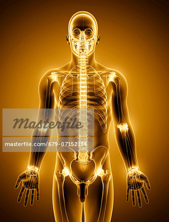 Human skeleton, computer artwork. Stock Photo - Premium Royalty-Free, Image code: 679-07152114