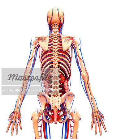 Human anatomy, computer artwork. Stock Photo - Premium Royalty-Free, Image code: 679-07153702