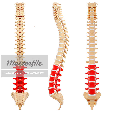 Human spine, computer artwork. Stock Photo - Premium Royalty-Free, Image code: 679-07162271