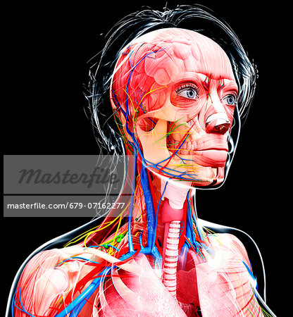 Female anatomy, computer artwork. Stock Photo - Premium Royalty-Free, Image code: 679-07162277