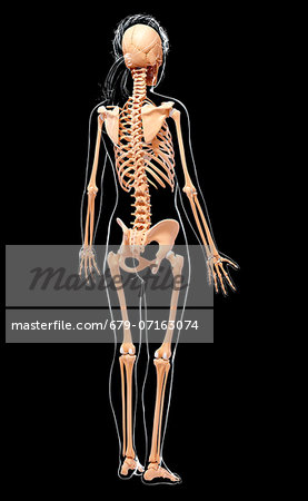 Human skeleton, computer artwork. Stock Photo - Premium Royalty-Free, Image code: 679-07163074