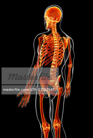 Male skeleton, computer artwork. Stock Photo - Premium Royalty-Free, Image code: 679-07163547
