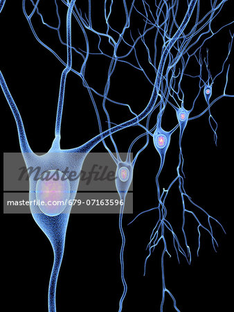 Computer artwork of nerve cells, also called neurons. Neurons are responsible for passing information around the central nervous system (CNS) and from the CNS to the rest of the body. The nerve cell comprises a nerve cell body surrounded by numerous extensions called dendrites, which collect information from other nerve cells or from sensory cells. Each neuron has one process called an axon throug Stock Photo - Premium Royalty-Free, Image code: 679-07163596