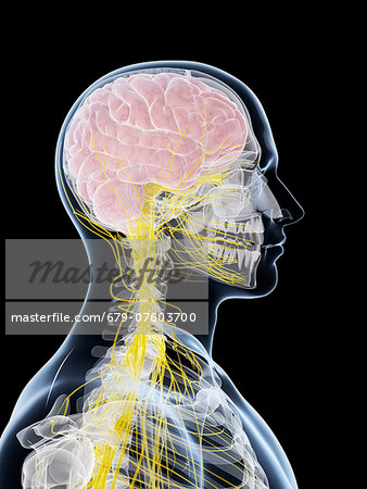 Male nervous system, computer artwork. Stock Photo - Premium Royalty-Free, Image code: 679-07603700