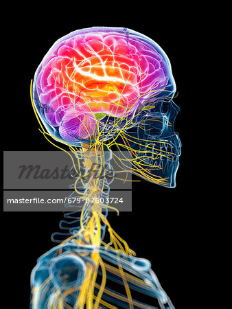 Active brain, computer artwork. Stock Photo - Premium Royalty-Free, Image code: 679-07603724