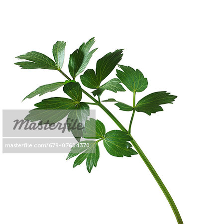 Lovage (Levisticum officinale) stem. Stock Photo - Premium Royalty-Free, Image code: 679-07604370