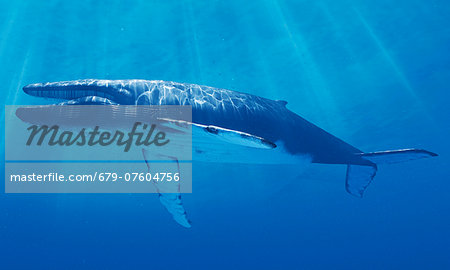 Blue whale, computer artwork. Stock Photo - Premium Royalty-Free, Image code: 679-07604756
