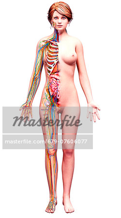 Female anatomy, computer artwork. Stock Photo - Premium Royalty-Free, Image code: 679-07606077