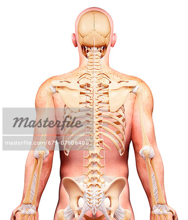 Male skeleton, computer artwork. Stock Photo - Premium Royalty-Free, Image code: 679-07606408