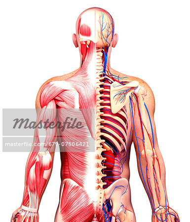 Male anatomy, computer artwork. Stock Photo - Premium Royalty-Free, Image code: 679-07606421