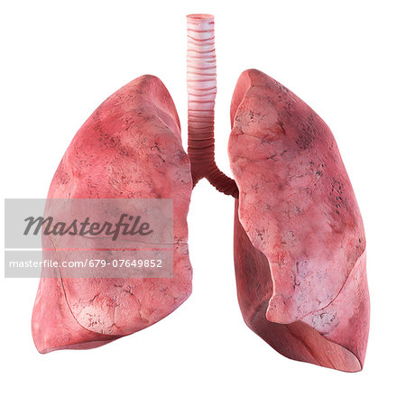 Human lungs, computer artwork. Stock Photo - Premium Royalty-Free, Image code: 679-07649852