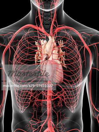 Human heart and arteries, computer artwork. Stock Photo - Premium Royalty-Free, Image code: 679-07650322
