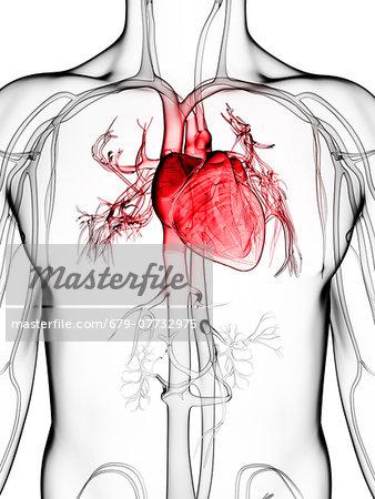 Human vascular system, computer artwork. Stock Photo - Premium Royalty-Free, Image code: 679-07732975