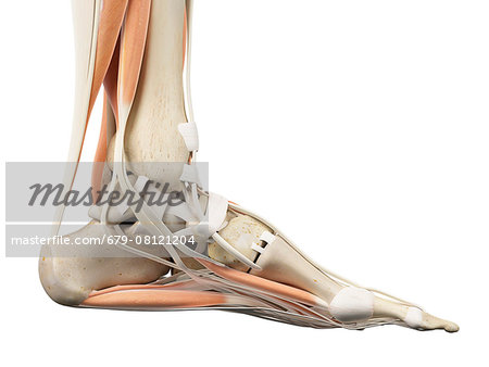 Human foot anatomy, computer illustration. Stock Photo - Premium Royalty-Free, Image code: 679-08121204