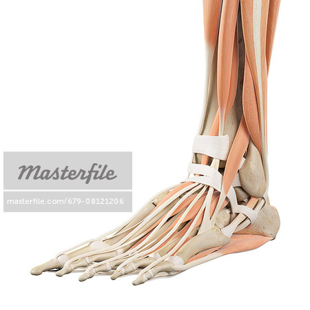 Human foot anatomy, computer illustration. Stock Photo - Premium Royalty-Free, Image code: 679-08121206