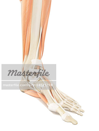Human foot anatomy, computer illustration. Stock Photo - Premium Royalty-Free, Image code: 679-08121208