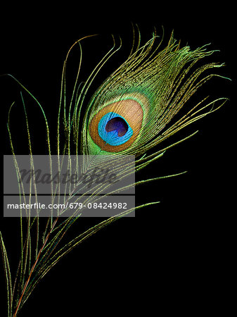 Peacock feather, close up. Stock Photo - Premium Royalty-Free, Image code: 679-08424982