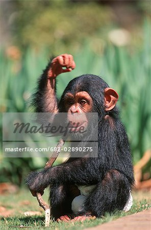 Portrait of a Baby Chimpanzee (Pan troglodytes) Playing with a Stick Stock Photo - Premium Royalty-Free, Image code: 682-02890275