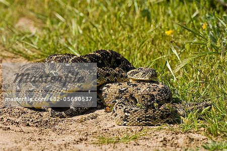 Puff Adder (Bitis arietans) pair mating in open, Langebaan Lagoon, West Coast National Park, Western Cape, South Africa Stock Photo - Premium Royalty-Free, Image code: 682-05650537