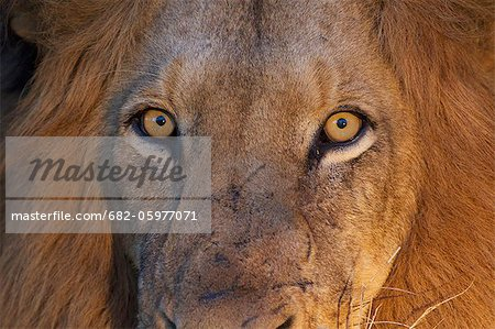 A close up of a Lions eyes looking directly at the camera, Kapama Private Game Reserve, Hoedspruit, Mpumalanga, South Africa Stock Photo - Premium Royalty-Free, Image code: 682-05977071