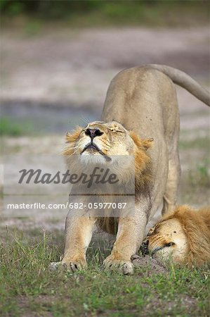 A Lion stretching, Okavango Delta, Botswana Stock Photo - Premium Royalty-Free, Image code: 682-05977087