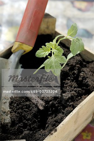 Seedling and garden trowel in crate Stock Photo - Premium Royalty-Free, Image code: 689-03733204
