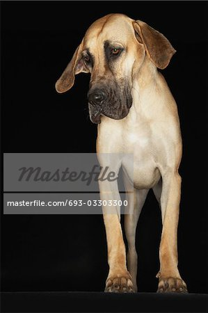 Great Dane standing, front view Stock Photo - Premium Royalty-Free, Image code: 693-03303300