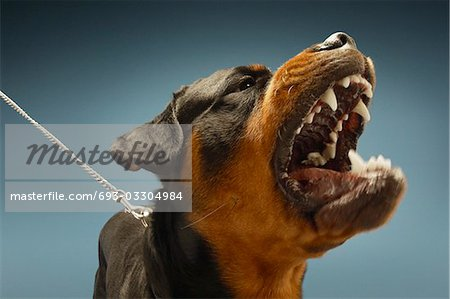 Angry Rottweiler on blue background Stock Photo - Premium Royalty-Free, Image code: 693-03304984