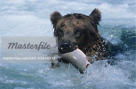 Grizzly bear swimming with fish in mouth Stock Photo - Premium Royalty-Free, Image code: 693-03306339