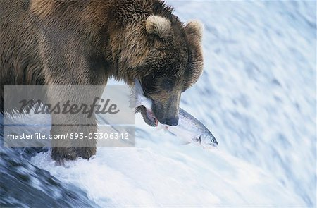 Grizzly bear swimming with fish in mouth Stock Photo - Premium Royalty-Free, Image code: 693-03306342