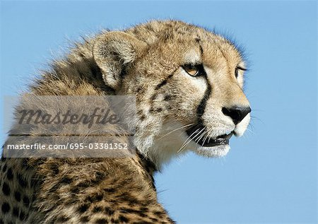 East African Cheetah (Acinonyx jubatus raineyii) hissing and flattening ears, head and shoulders Stock Photo - Premium Royalty-Free, Image code: 695-03381352
