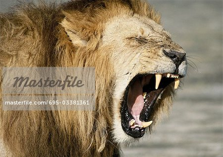 Lion roaring (Panthera leo), head and shoulders Stock Photo - Premium Royalty-Free, Image code: 695-03381361