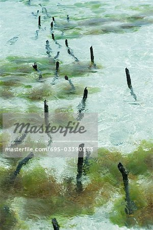 Seaweed farm, wooden stakes sticking out of shallow water Stock Photo - Premium Royalty-Free, Image code: 695-03390583