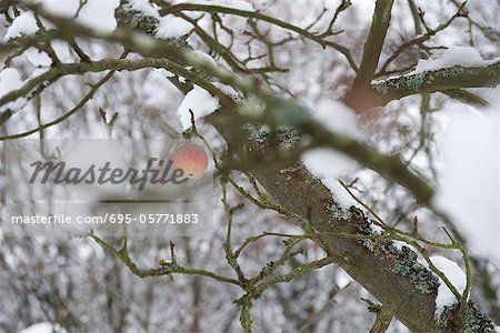 Single apple on snow-covered tree Stock Photo - Premium Royalty-Free, Image code: 695-05771883