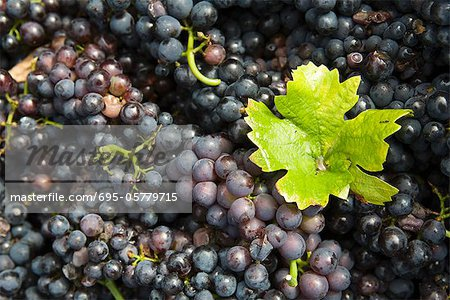 Grape leaf on heap of grapes Stock Photo - Premium Royalty-Free, Image code: 695-05779715