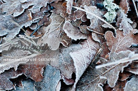 Close-up of a frozen leaves in winter Stock Photo - Premium Royalty-Free, Image code: 698-06374710
