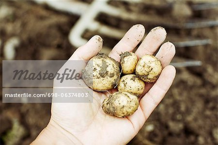 Close-up of a person's hand showing raw potatoes Stock Photo - Premium Royalty-Free, Image code: 698-06374803