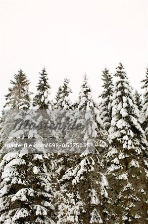 Coniferous trees covered in snow against clear sky Stock Photo - Premium Royalty-Free, Image code: 698-06375085