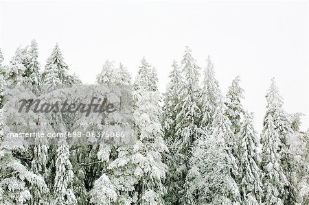 Snow covered trees against clear sky Stock Photo - Premium Royalty-Free, Image code: 698-06375086