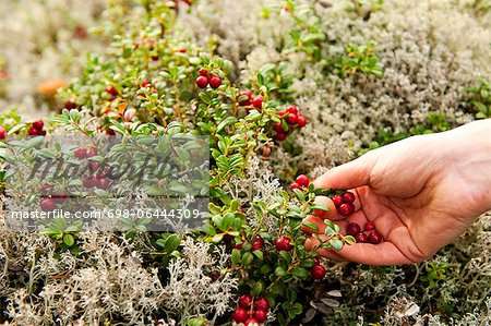 Hands picking cherries from plants Stock Photo - Premium Royalty-Free, Image code: 698-06444309
