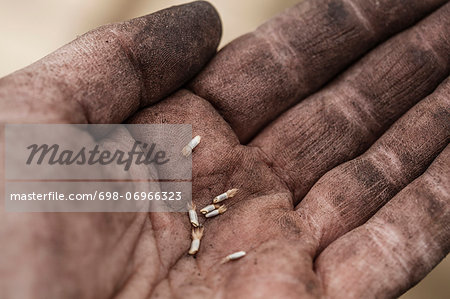 Close-up of mid adult woman's palm with freshly harvested flower seeds Stock Photo - Premium Royalty-Free, Image code: 698-06966323